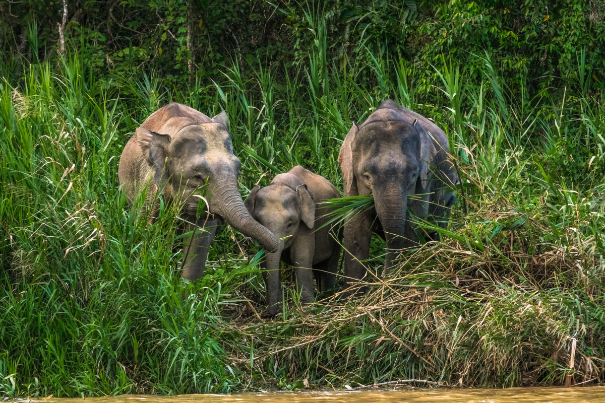 #PicMeElephant - the clever hashtag which might just save the endangered Pygmy Elephant. Source: Shutterstock.