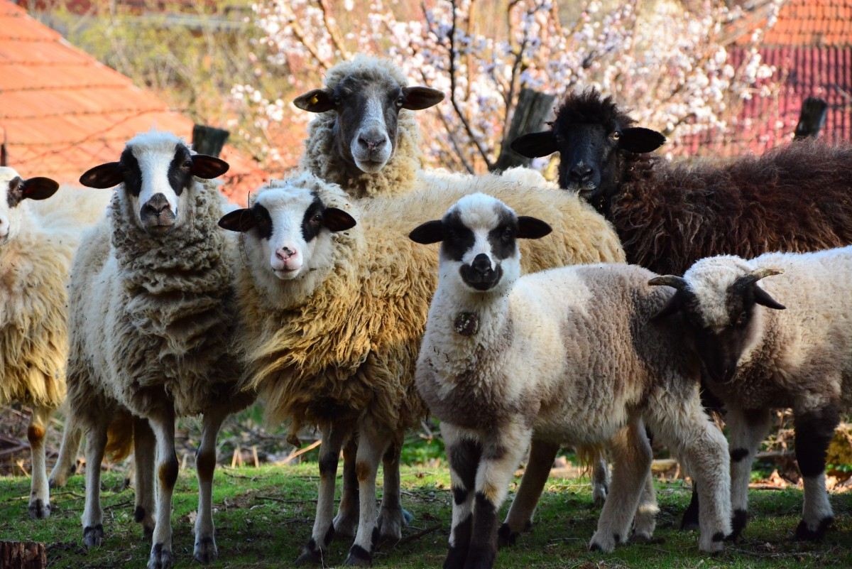 Sheep are intelligent enough to recognise humans. Source: Shutterstock.
